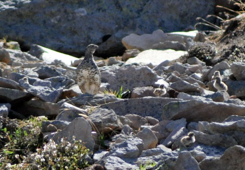 White-tailed Ptarmigan family