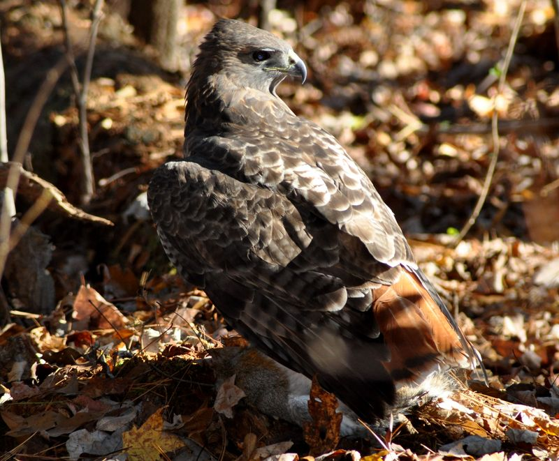 Red-tailed Hawk21