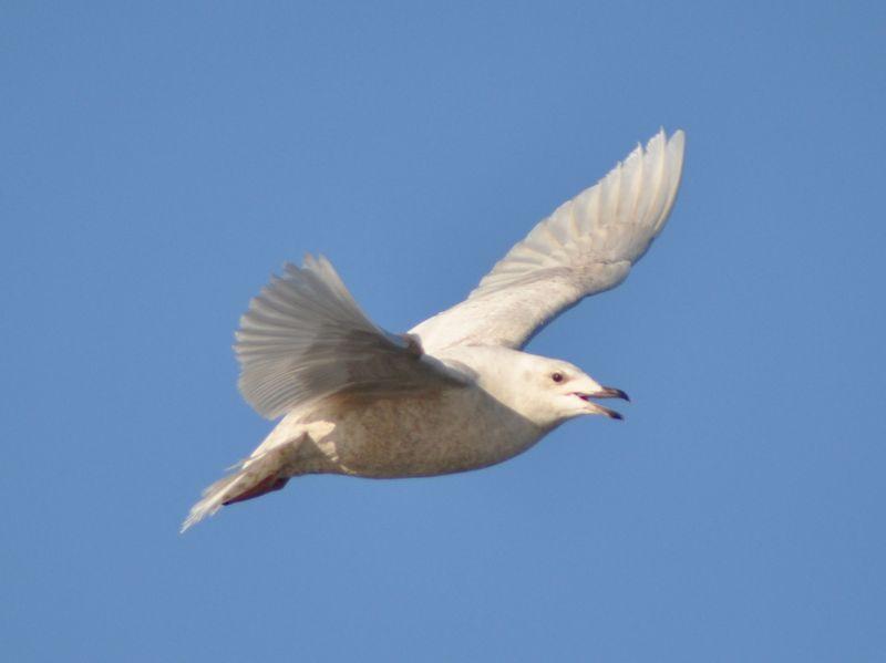 Iceland Gull2