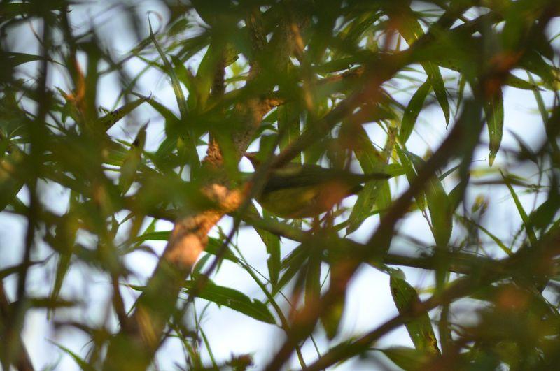Connecticut Warbler2