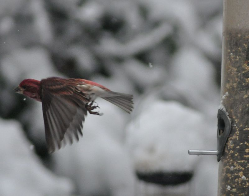 Purple Finch flying