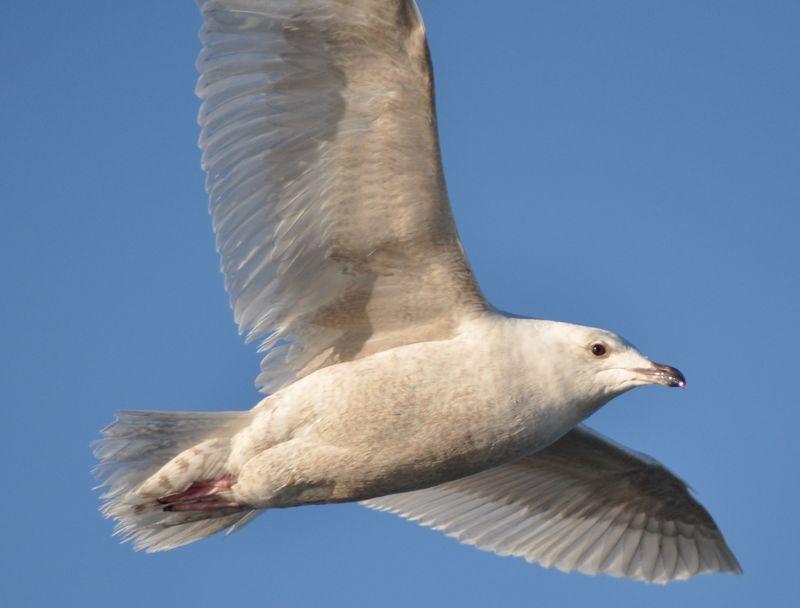Iceland Gull3