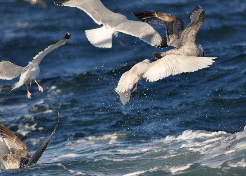 Iceland Gull amidst flock