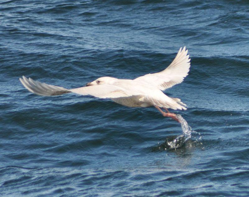 Iceland Gull4