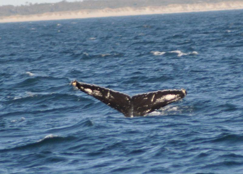 Humpback Whale2